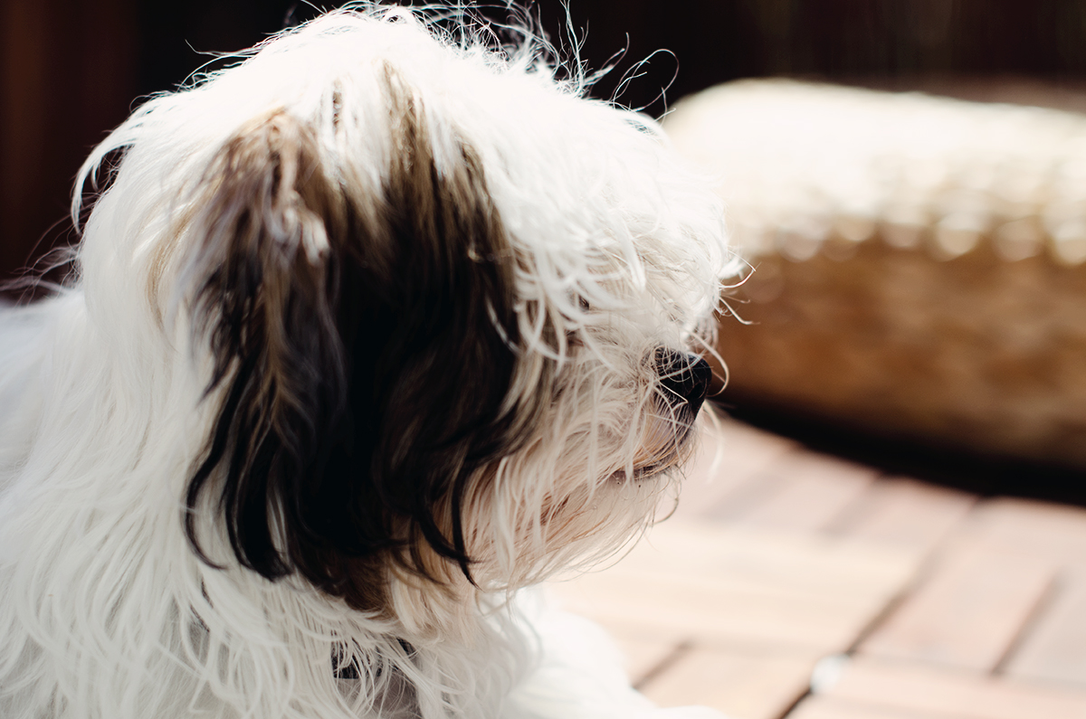 Lucy, Bolonka Zwetna
