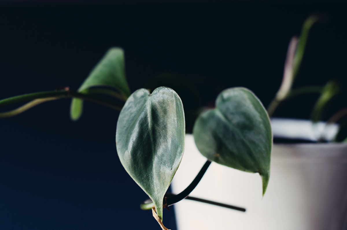 anna frost kletter philodendron
